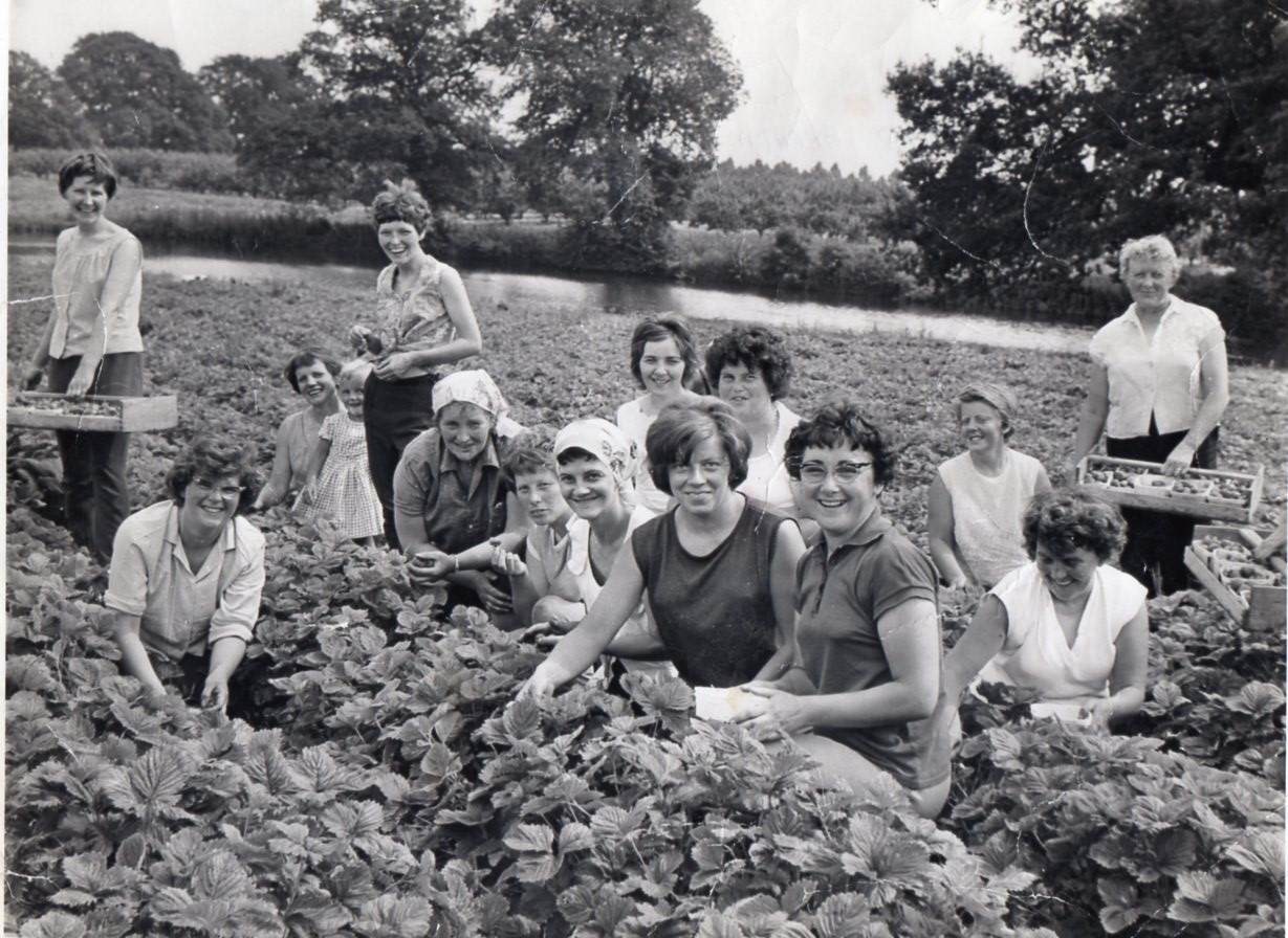 1968_strawberry_picking